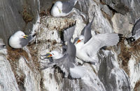 (3) Black-legged Kittiwakes nesting on the cliffs at Arnarstapi, Snæfellsnes Peninsula.