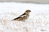 (1) Snow Bunting in the snow