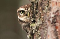 (ii) Little Owl (Athene noctua)