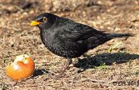 Blackbird feeding on an apple