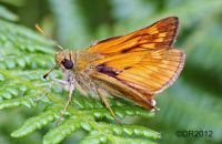 (1) Large Skippers