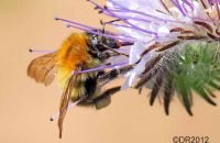 (1) Common Carder Bee