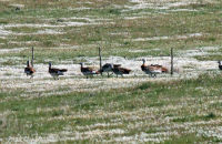 A few record shots of great birds to see, but at long range for photography; these are 10 of a flock of 40+ Great Bustards