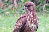 Common Buzzard hunting for worms