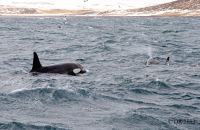 (8) Orca female & calf