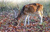 (1) Chital (spotted deer)