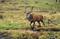 (i) Red Deer stag (Cervus elaphus)