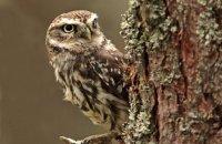 (iii) Little Owl (Athene noctua)