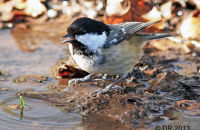Coal Tit drinking from a puddle