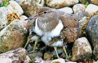 (2) Common Sandpiper with chicks