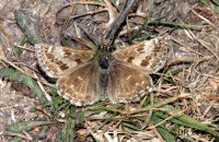 (1) Dingy Skippers