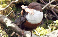 Dipper gathering nesting material