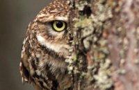 (iv) Little Owl (Athene noctua)