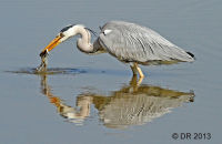 (1a) Sets of images of Grey Herons fishing, striking and with resulting catch. All photographs taken from a hide at Slimbridge.