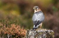 (i) Merlin (Falco columbarius)