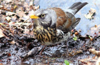 Fieldfare drinking from a forest puddle