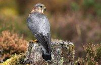 (ii) Merlin (Falco columbarius)