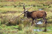 (iv) Red Deer (Cervus elaphus)
