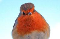 Fluffed-up winter Robin