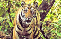 Male tiger emerging from the forest