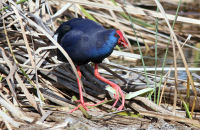 (6) Purple Gallinule eating reed stems