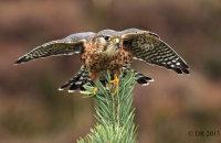 (iii) Merlin (Falco columbarius)