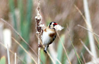 Goldfinch gathering reedmace for nesting material