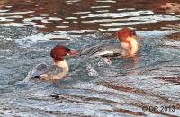 (1) Goosander being pursued for her fish