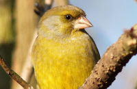 (1) Greenfinch