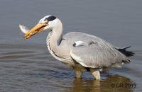 Large Birds (Bitterns, Herons, Cranes and Storks)
