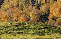 (i) Red Deer (Cervus elaphus) and Autumn colours