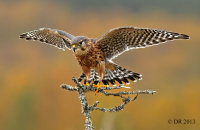(iv) Merlin (Falco columbarius)