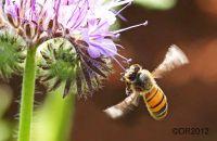 (1) Honeybees