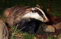 (i) European Badger (Meles meles)
