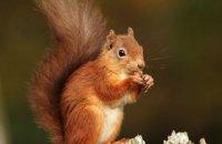(i) Red Squirrel (Sciurus vulgaris)