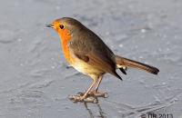 Robin on frozen pool