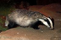 (ii) European Badger (Meles meles)