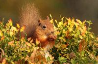 (ii) Red Squirrel (Sciurus vulgaris)