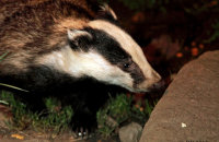 (iii) European Badger (Meles meles)