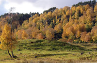 (ii) Red Deer (Cervus elaphus) and Autumn colours