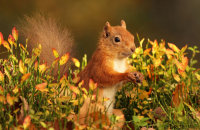 (iii) Red Squirrel (Sciurus vulgaris)