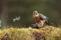 (v) Merlin (Falco columbarius) - following sequence with a Dunnock