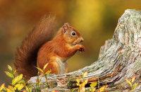 (iv) Red Squirrel (Sciurus vulgaris)