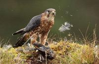 (vi) Merlin (Falco columbarius)