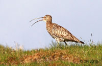 (1) Curlew calling