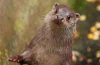 (ii) European Otter (Lutra lutra lutra)