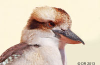 (1) Kookaburras