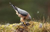 (vii) Merlin (Falco columbarius)