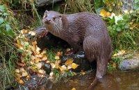 (iii) European Otter (Lutra lutra lutra)