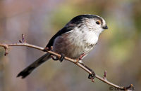 (1) Long-tailed Tit